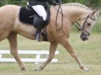 Quarterhorse - Zeus - Medium - Adult - Male - Horse