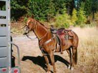 Quarterhorse - Duchess - Medium - Adult - Female -