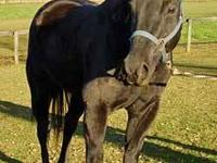 Quarterhorse - Josie - Large - Adult - Female - Horse