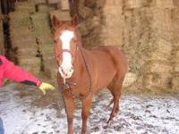 Quarterhorse - Melody - Large - Adult - Female - Horse