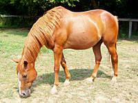 Quarterhorse - Quincy - Medium - Adult - Male - Horse
