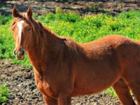 Quarterhorse - Reno - Medium - Adult - Female - Horse