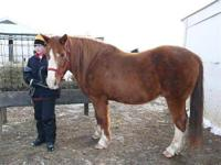 Quarterhorse - Rocket - Large - Senior - Male - Horse