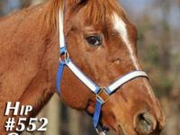 Quarterhorse - Shiloh - Large - Young - Male - Horse