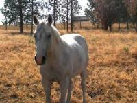 Quarterhorse - Silver & Ready - Medium - Adult - Female