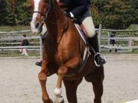 Quarterhorse - Teddy - Medium - Adult - Male - Horse
