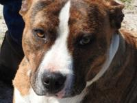 Quasimodo is a medium sized male Bulldog mix, brindle