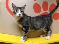Queen's story Queen (female) 1 year - tabby & white DSH