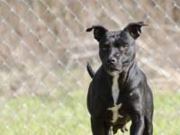 Queenie is a 4.5 y/o female Pit Bull mix, 44 pounds,