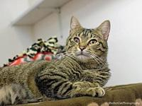 Queenie's story 1 yr spayed female DSH Brown Tabby