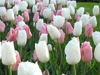 Queens ? 50 bulb collection This tulip collection is a