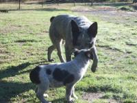 Queensland Blue Heeler Puppies. ranch raised from