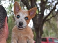 11 week old female Queensland Heeler Puppy, sweet as