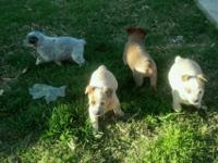 I am selling my queensland pups. I have 6 males and 1