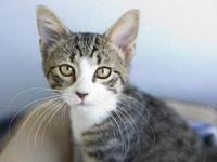 Quigley's story Adorable DSH White and Brown Tabby Male