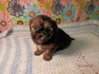 QUINCY SHORKIE MALE PUPPY 750.00 Quincy is a little