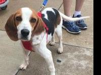 Quinn's story 18 month old female Beagle mix. Very