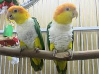 I want to BUY a pair of White Bellied Caiques will also
