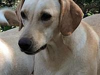 My story Adult Labrador/Basset Hound mixPlease send us