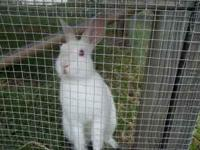 One Single mane LionHead Buck Ruby eyed white/hemi If