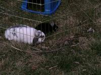 1 year old Holland Lop neutered male, and 6 year old