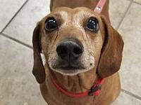 Rabbit's story Rabbit is a super sweet Dachshund that