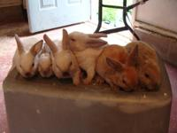 I have a few Beautiful Mini-Rex Baby Bunnys for sale