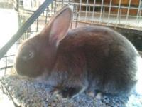 PEDIGREED SHOW RABBITS, 9 WEEKS OLD, SATIN, OTTERS-