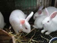 Bunnies. Mixed Breed (Mini-Rex and Holland Lop). Born