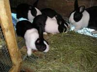 Mini lops , mini rex, polish cross, netherland dwarfs