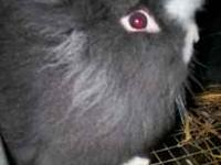 I have Lionhead/Mini-Lop babies for sale at $8 each.