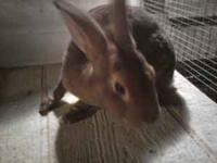 Purebred Pedigreed White Mini Rex Sr Doe $20 Purebred