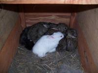 Good healthy Rabbits. All ages , several colors, Tame