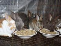 We have several bunnies left for sale: Netherland