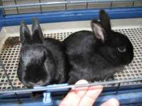 Two black female Polish rabbits and great cage. Rabbits