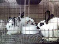 We have several rabbits of different breeds for sale