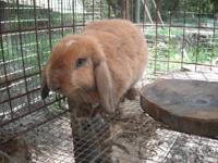 I HAVE A FEW ANIMALS FOR SALE RABBITS MEAT AND HOLLANDS