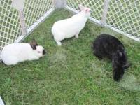 Hi I have a few rabbits for sale the first pic all