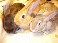 Young rabbits for sale for more info call  Location: