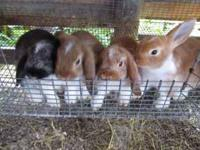 Pet and meat rabbits  Location: Santa Rosa County
