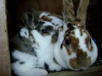 Rabbits, for pet or show, with or without pedigrees,
