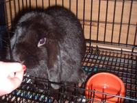 Picture 1: Hannah, dob 05/14/11, solid black mini lop