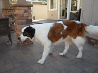 5 year old Radley is a 115 pound rough coated sweet