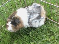 Meet Rag A Muffin She is a Abyssinian guinea pig. She