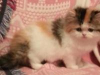 Ragamuffin kitten. Born April 17th, 2015. Ready to go