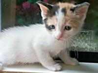 BeautifulRagamuffin kittens, raised in our home and