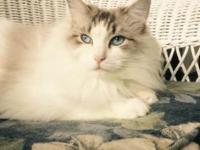 Registered purebred seal bicolor lynx Ragdoll cat, with