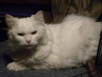 Ragdoll - Alaska - Large - Senior - Female - Cat Alaska