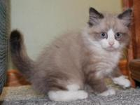 This is a Seal Mink Point Mitted Male kitten, he will