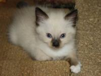 Male Ragdoll 8 weeks ready to go home for Christmas. I